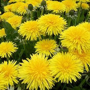 Гидролат цветов одуванчика